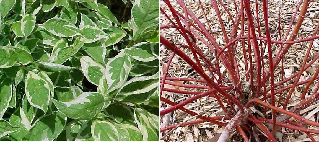 Plant of the Week: Red Twig Dogwood