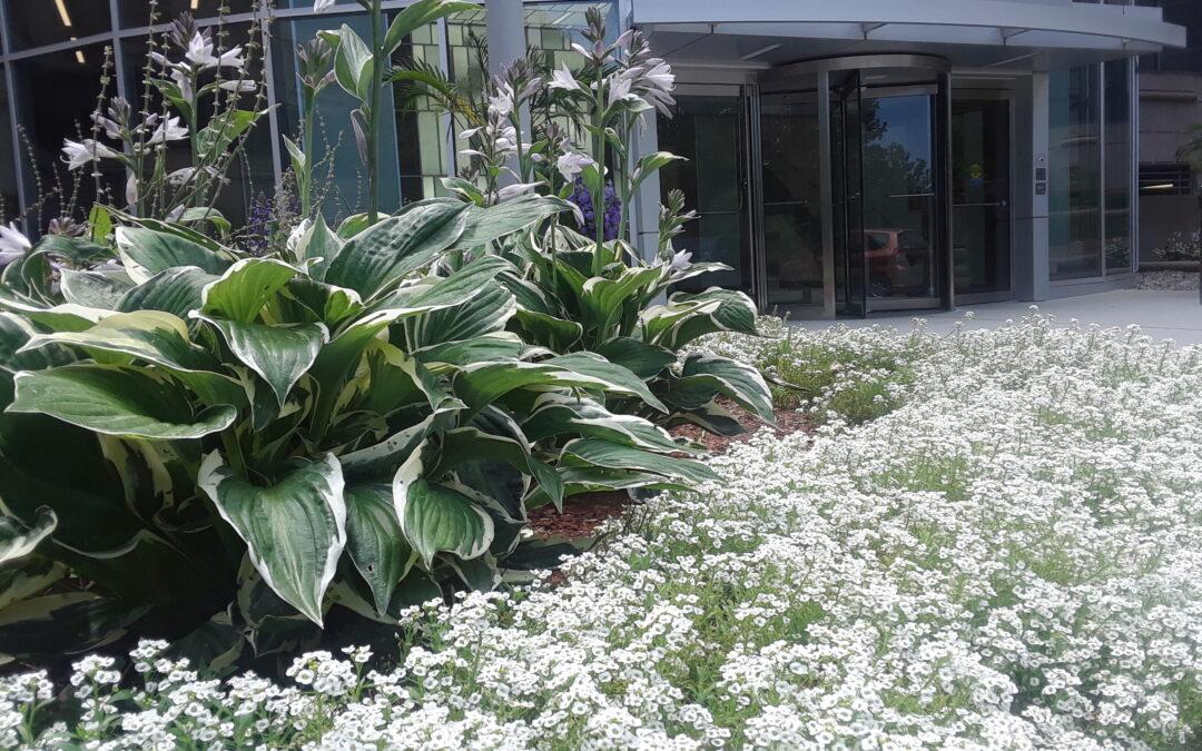 Plant of the Week: Hostas