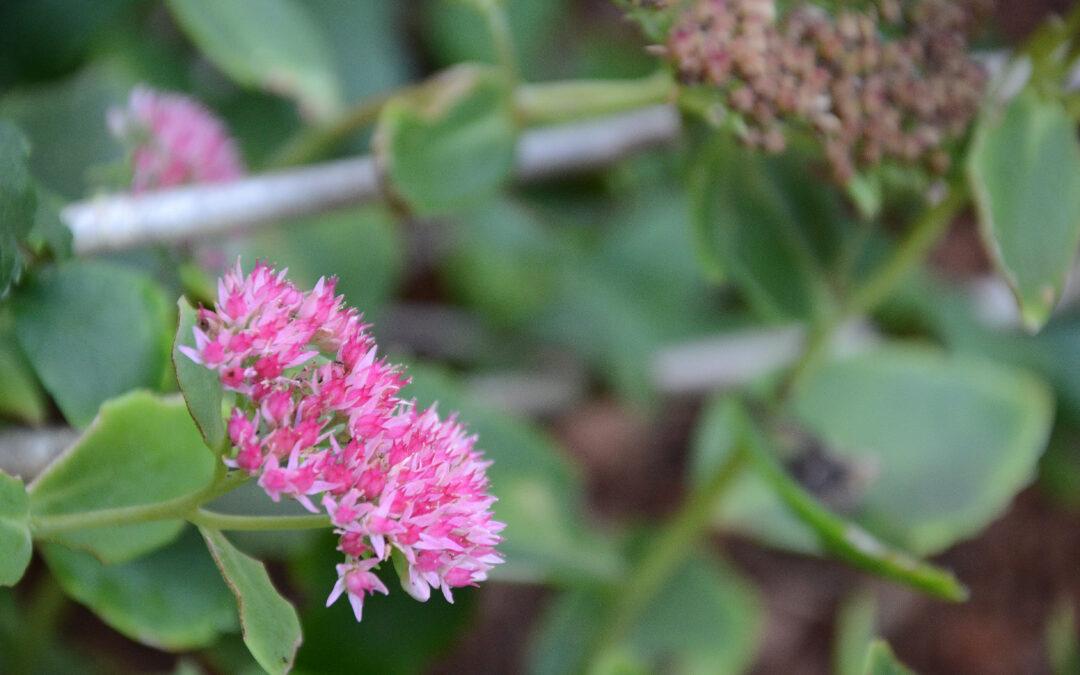 Plant of the Week: Spirea