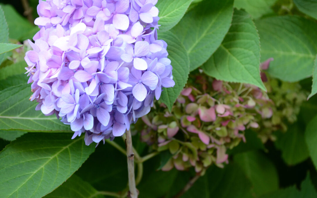 Plant of the Week: Hydrangea